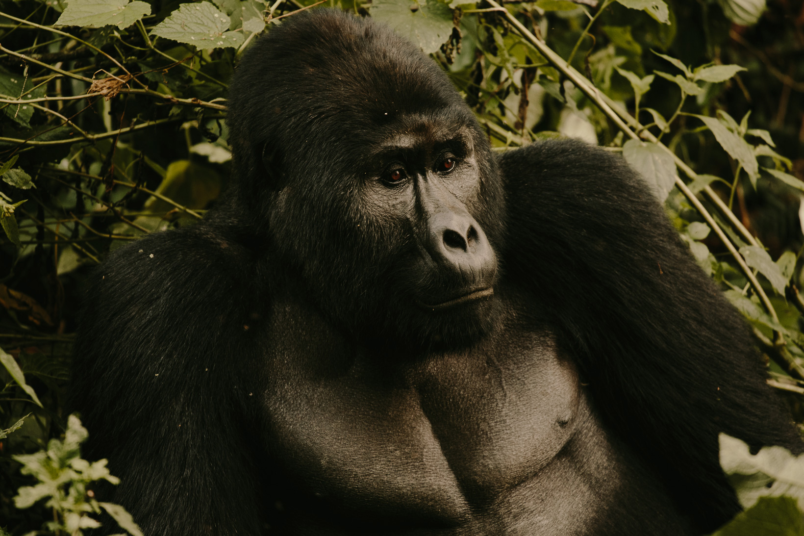 bwindi impenetrable forest gorillas uganda